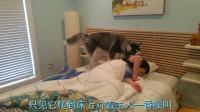 主人装睡,萨摩耶:你永远都叫不醒一个装睡的人,哈士奇:没事,看我的