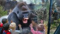 游客挑衅银背大猩猩,银背一拳捶裂钢化玻璃,镜头拍下全过程