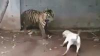 比特犬挑衅老虎被反杀,比特以为自己是王者,结果连个青铜都不如!