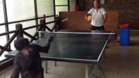猩猩和男子打球,猩猩完胜,乒乓球果然是一项全民运动!