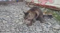 猫咪不捉老鼠了,却捉来了一个它,网友:这只猫厉害了!