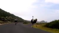 鸵鸟被称为目前世界上跑的最快的鸟类,和自行车比赛也不落下风!