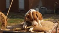 狗狗磨牙期看上了擀面棍,被咬烂后,主人给它换上了一根甘蔗头