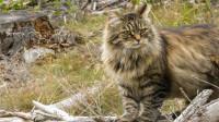 二哈要失业?世界上最古老的工作猫,能拉的动百斤的雪橇!
