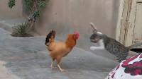 猫咪挑衅母鸡,一个猛扑上去,下一秒请憋住别笑!
