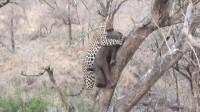花豹捕获一头犀牛,想带上树慢慢享用,结果猎物太重摔惨了
