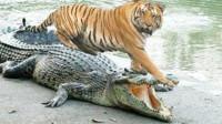 看完狮子和老虎制服鳄鱼后的对比,谁最厉害,一目了然