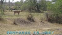 狮子遭狒狒驱赶,没想到它主动认怂引诱狒狒上当,镜头拍下全过程