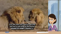 猎豹和狮子缠斗,狮子先发制人,镜头记录精彩过程