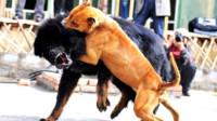 中国藏獒遇到美国恶霸犬,一场大战一触即发,镜头记录下关键时刻