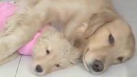 金毛和小狗睡觉,听见主人要卖小狗,赶紧把小狗藏起来!