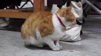 这只橘猫去大学课堂听课,累了打瞌睡还翘课,太搞笑了