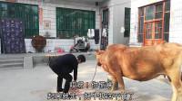 婆婆在喂牛,儿媳回家给婆婆说了啥?婆婆扔下牛就走,这是去干啥-