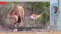 狮王到底是如何追求母狮?轻轻碰了一下母狮,意外画面出现了