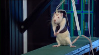 老外切断老鼠脊髓放跑步机上?开始很难理解,之后拍手叫好!