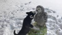 主人给哈士奇给它找了只猫头鹰解闷,网友:这咋这么像对情侣呢