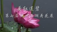 荷红莲碧-第七届杭州西湖荷花展-大鹿摄制