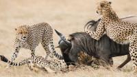 四只猎豹围猎一只角马,一番搏斗后角马逃脱,真是惊险!