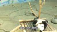 """国宝大熊猫成""""海归熊"""",它到底做了什么,让外国人含泪送回"""
