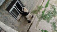 """大熊猫敲打""""小卖部""""窗户,讨要吃的,不给还耍赖不走!"""