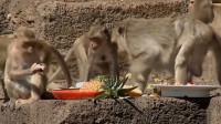 在华富里,钢筋水泥代替了热带雨林,成为了猕猴们的栖息地!