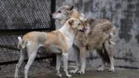 一只狼和狗隔着笼子吵架,主人打开笼子后,镜头拍下搞笑瞬间