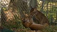 女子在野外捡到两只小猫,养大后发现不对劲,赶紧放回野外