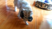 小奶猫越狱成功正得瑟,身后的猫妈妈看不过眼:看我怎么收拾你