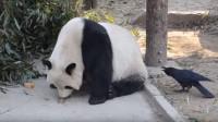 大熊猫太无聊,想和小鸟玩却被啄哭,大熊猫:我可是国宝