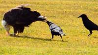 两只乌鸦想吃老鹰的食物,居然去薅老鹰屁股毛,真不愧是鸟界流氓