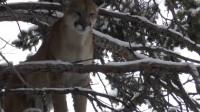 美洲狮怕狗子?竟被2只狗狗追得在树上不敢下来