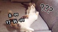 原住民猫欺负新来的小短腿,最后却痛遭反击:你惹错猫了!