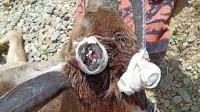 国家一级保护动物白唇鹿遭割角?警方辟谣:自然脱落