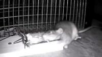 老鼠半夜觅食,被捕鼠器夹住后,接下来奇迹发生了