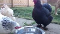 老外给公鸡递来一盆白酒,一定憋着别笑,镜头拍下搞笑一幕