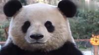 大熊猫:出名了一定得学会卖萌