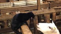 猫咪对一只小羊大打出手,小羊急了:也不看看是谁的地盘