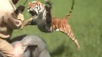 男子走在稻田中,突然一只老虎猛蹿而出,飞身扑向男子,结果会怎么样?