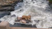 狮子看见死去的河马,上去一顿撕咬,最后河马彻底地把狮子坑了
