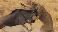 落单角马被狮子按住撕咬,角马上演绝地反击,网友:最漂亮的翻身仗!
