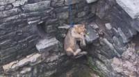 狮子坠入深井,男子首当其冲,下井解救,镜头拍下全过程!