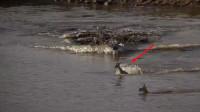 小羚羊被鳄鱼盯上,羚羊妈妈故意放慢脚步,牺牲自己救下孩子!