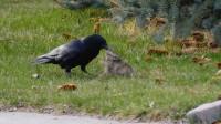 小兔子被乌鸦猛啄,下一秒,兔妈的举动,让人心痛!