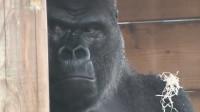 小猩猩不停地挑逗猩猩爸,猩猩爸气得都快哭了,太逗了!