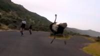 实拍非洲鸵鸟与自行车比速度,被野生动物追,绝不是好玩的事情!