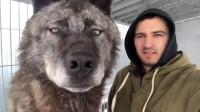 世界上体型最大的狼,身长达2米,秒杀藏獒简直轻而易举!