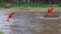 男子落水后大声呼救,大象听见后立马下水救援,太有灵性了