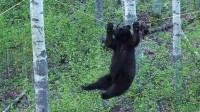 绳子上吊块肉,故意引诱黑熊,黑熊上去才明白被人坑了!
