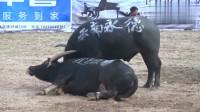 斗牛比赛:凯里市牛王争霸赛,黑牛大碰失误,被对手一个反抠扣翻在地