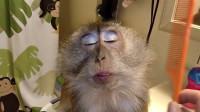 英国女子给小猴子化妆,猴子不哭不闹,坦然接受了现实